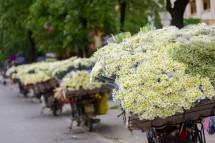 """Cúc họa mi đẹp tinh khôi """"gọi"""" đông về trên phố Hà Nội"""