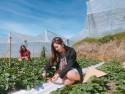 Lên Đà Lạt một ngày làm nông dân thu hoạch dâu tây
