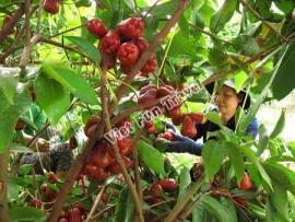 Ở miền Tây có những địa điểm du lịch vườn trái cây nào?