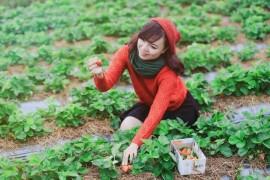 Địa chỉ mua dâu tây ở Đà Lạt
