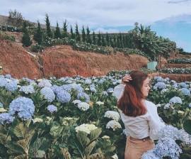 Giới thiệu về vườn hoa cẩm tú cầu ở Đà Lạt
