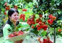Du lịch hè miền Tây nhớ thưởng thức các loại trái cây nổi tiếng