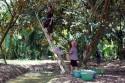 Du lịch Tiền Giang, tham quan miệt vườn cây ăn trái