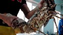 Tiết canh tôm hùm – đặc sản độc lạ ở Vũng Tàu