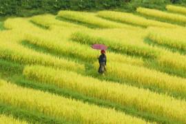 Tour Du Lịch Hà Nội –Hạ Long- Tuần Châu –Chùa Hương –Sapa 8  Ngày