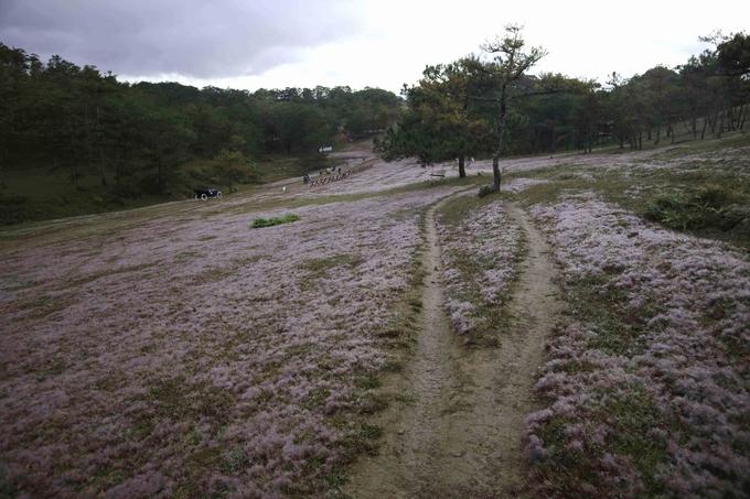 Description: Đà Lạt vào mùa cỏ hồng ngày chớm đông