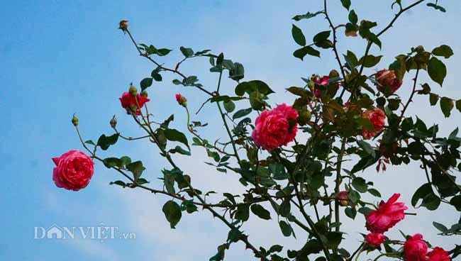 Description: Clip: Mê cung hoa lớn nhất Việt Nam đẹp như cổ tích ở Hà Nội - 14