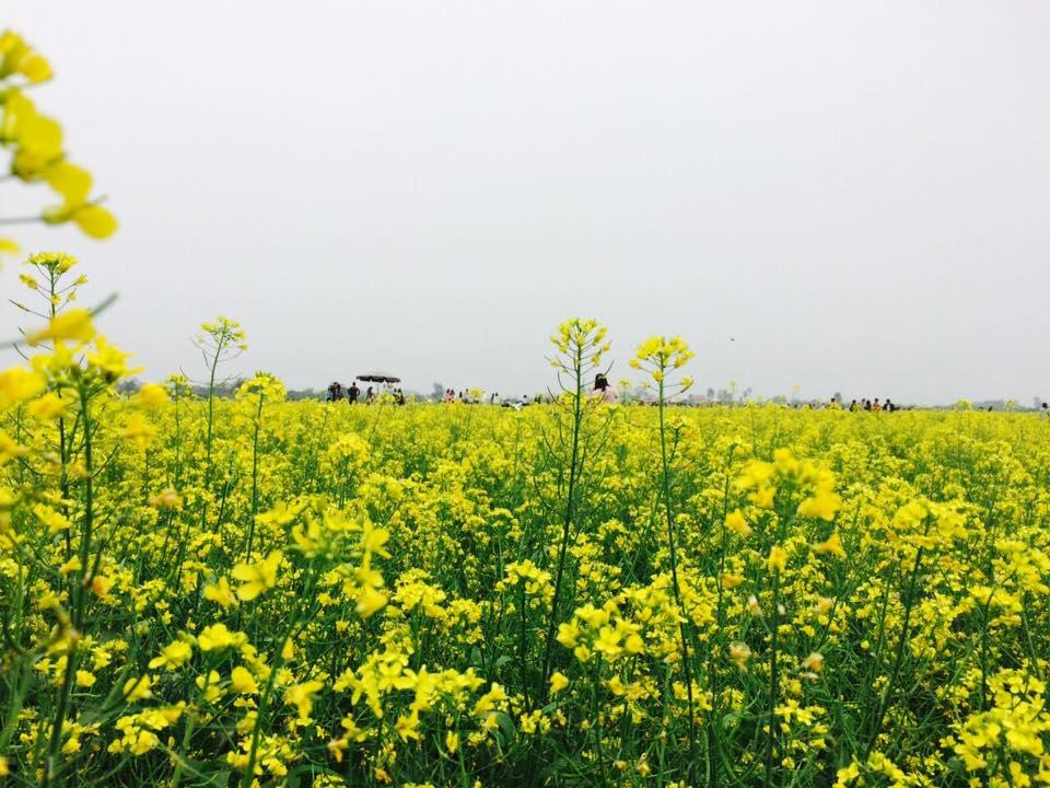 Description: Ngẩn ngơ ngắm cánh đồng hoa cải vàng nở rộ ở ngoại thành Hà Nội - 1