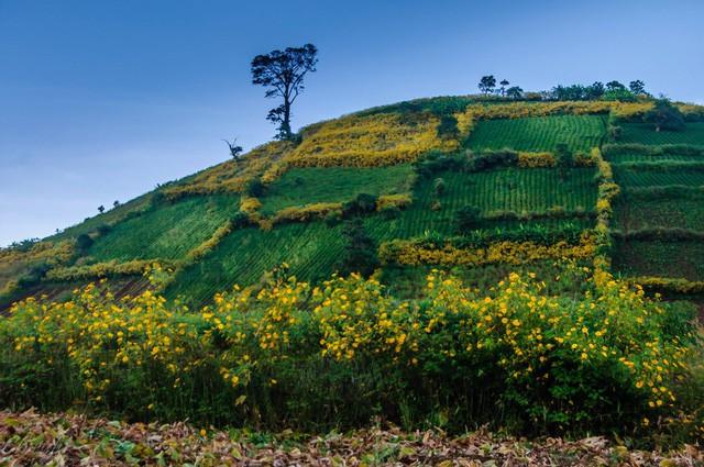 Rực vàng sắc Dã quỳ trên núi lửa Chư Đăng Ya