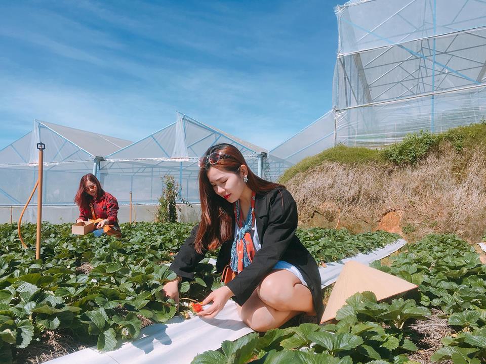 Description: Lên Đà Lạt một ngày làm nông dân thu hoạch dâu tây - 2