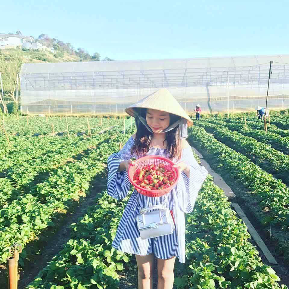 Description: Lên Đà Lạt một ngày làm nông dân thu hoạch dâu tây - 10