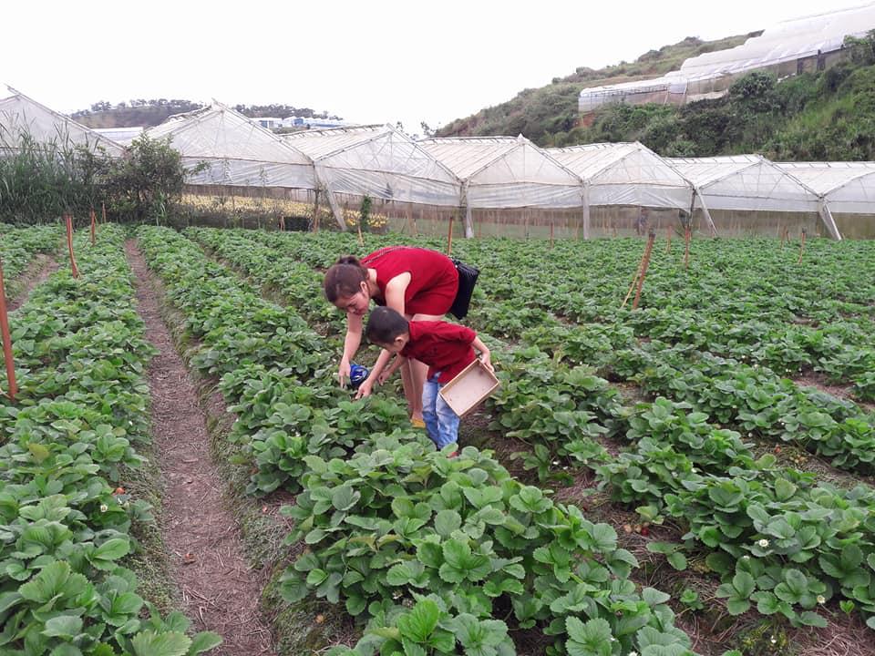 Description: Lên Đà Lạt một ngày làm nông dân thu hoạch dâu tây - 11