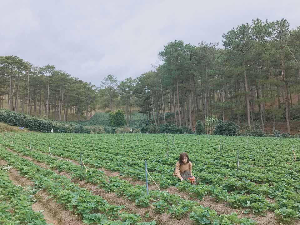 Description: Lên Đà Lạt một ngày làm nông dân thu hoạch dâu tây - 12