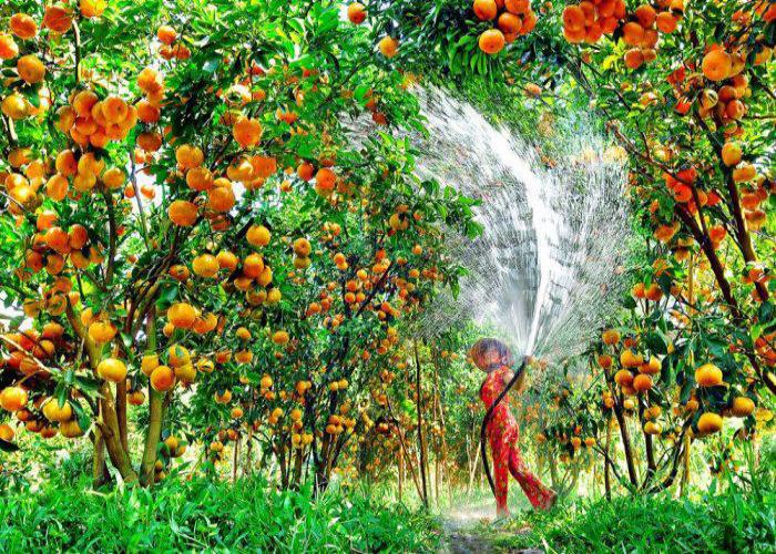 Tham quan vườn quýt hồng Lai Vung nổi tiếng ở xứ Đồng Tháp | Viet ...