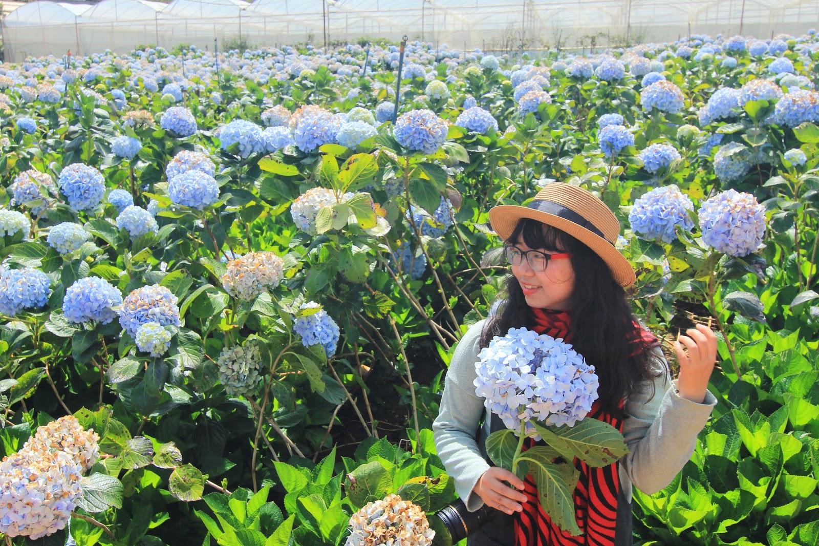 Image result for vườn hoa cẩm tú cầu