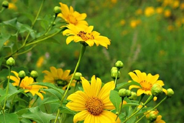 Dã quỳ loài hoa dại tuyệt đẹp ở Đà Lạt