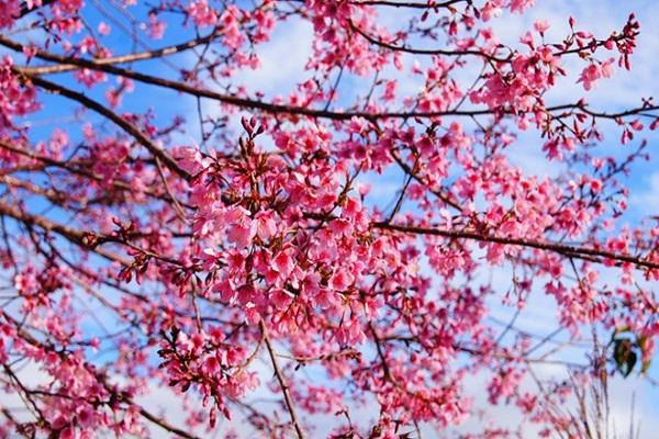 Sắc hoa mai anh đào của mùa xuân Đà Lạt