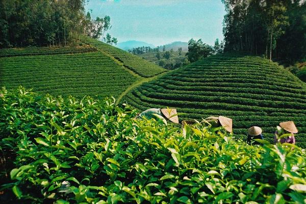 Trà Ô Long chỉ được trồng ở Trại Mát