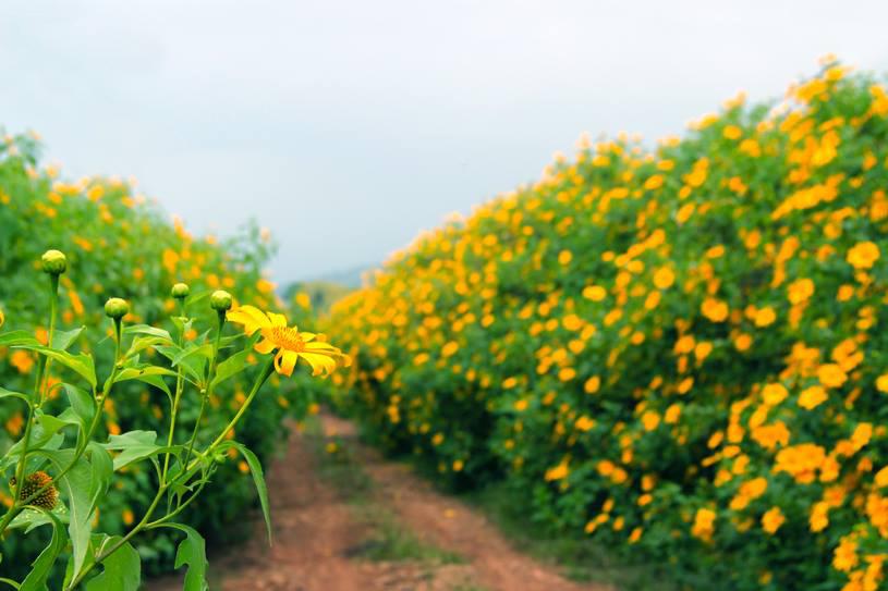 Du khách sẽ được ngắm nhìn sắc vàng rực rỡ của hoa dã quỳ