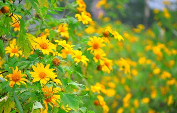 Mùa hoa dã quỳ tháng 11, báo hiệu cho sự kết thúc của mùa mưa