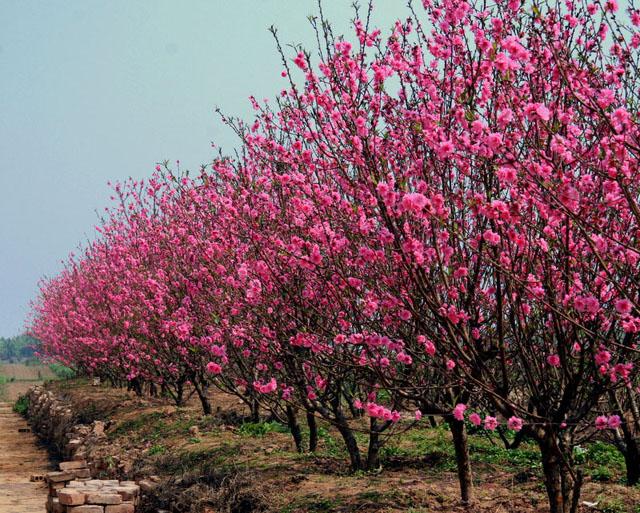 Vườn hoa đào Nhật Tân hà nội
